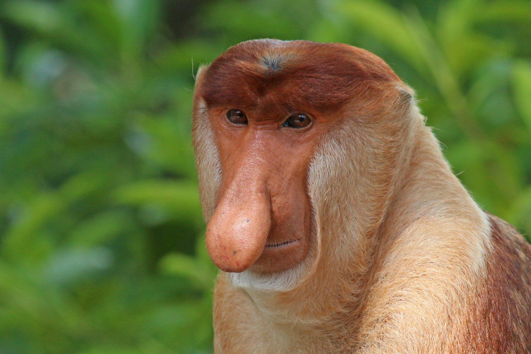 małpa Janusz